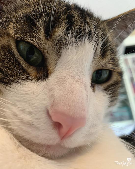 guilty looking tabby cat
