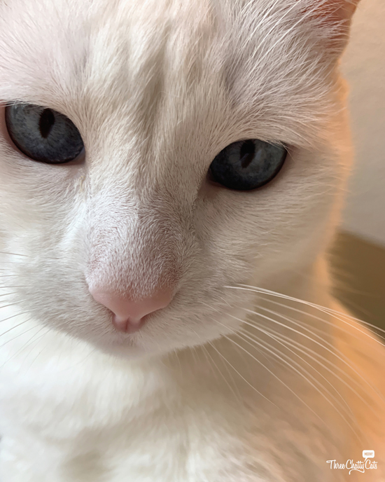 pretty white cat with blue eyes