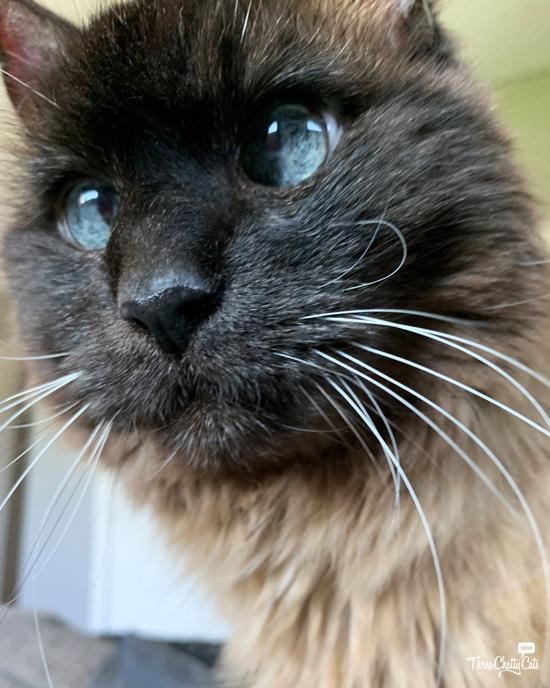 adorable siamese mix cat