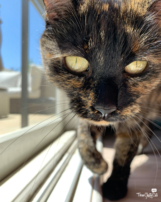 pretty tortie cat with black nose