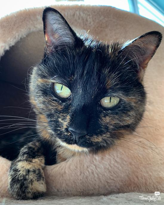 cute tortie cat in cat cubby