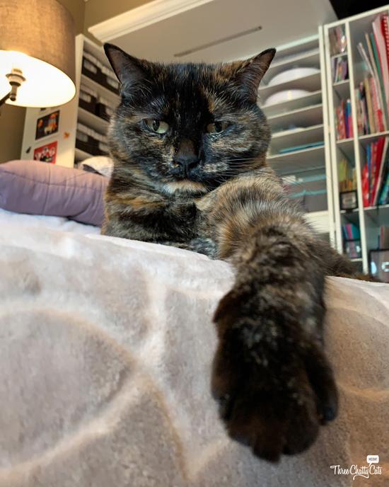 cute tortie cat with tortitude