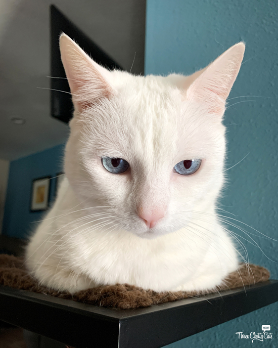 cute white cat with blue eyes