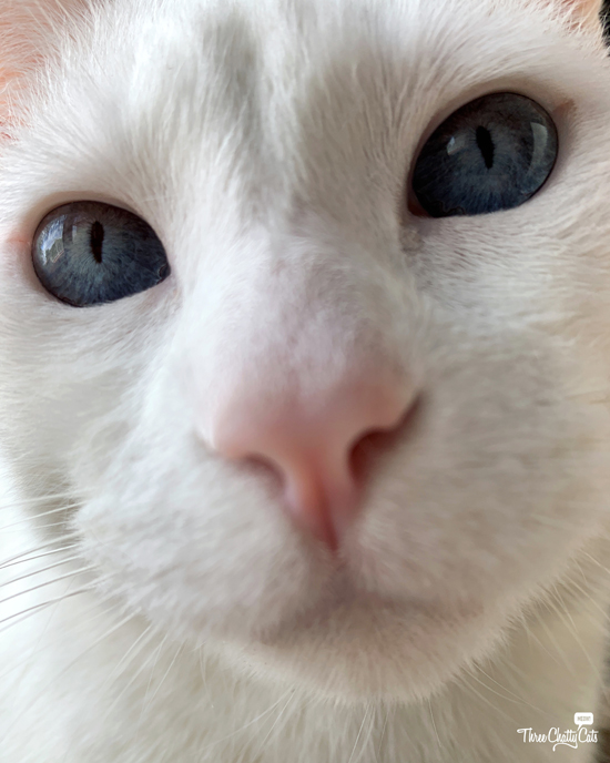 close up of cute white cat with blue eyes