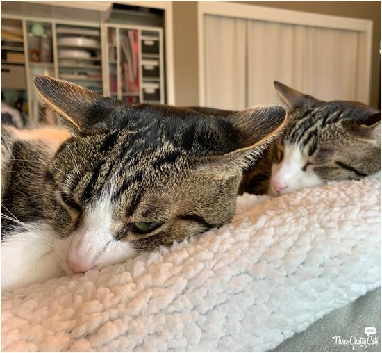 grumpy tabby cat with sleeping tabby cat