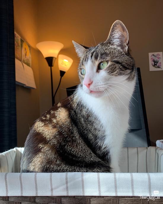 cute tabby cat sitting in basket