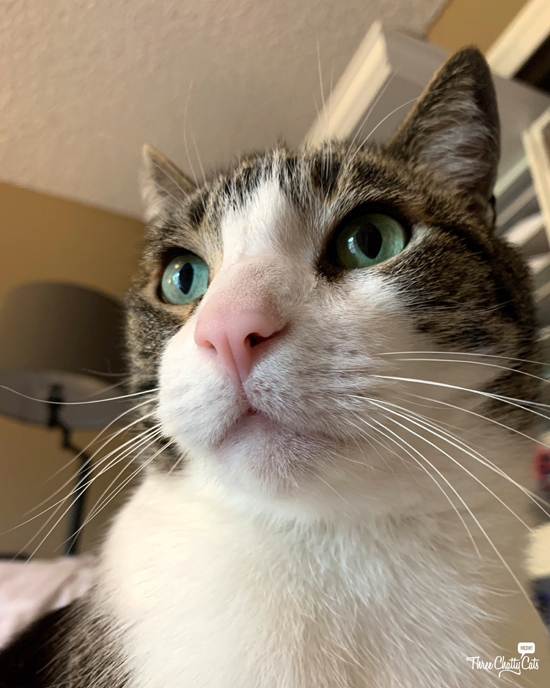 handsome tabby cat