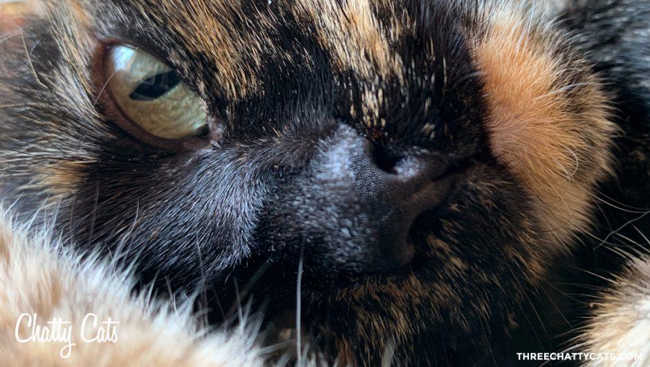 close up of tortie cat