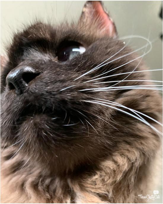 cute siamese mix cat