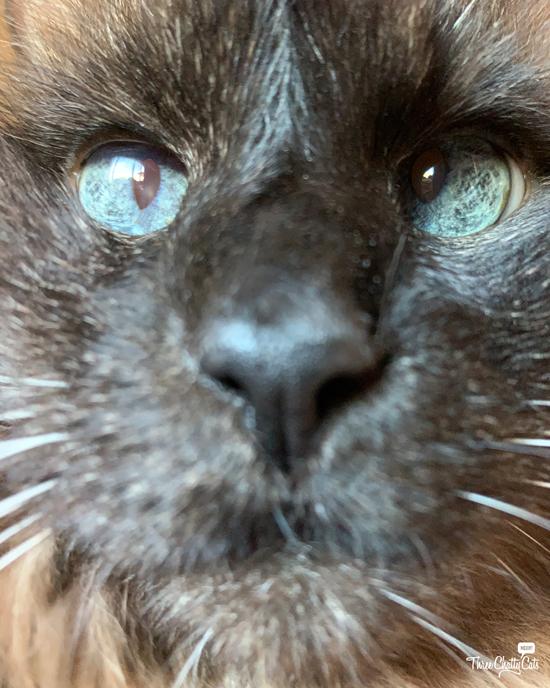 cute closeup of siamese cat