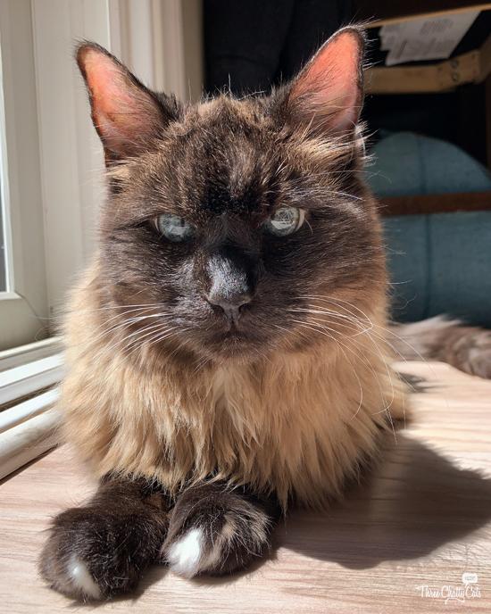 siamese mix cat sitting in sun