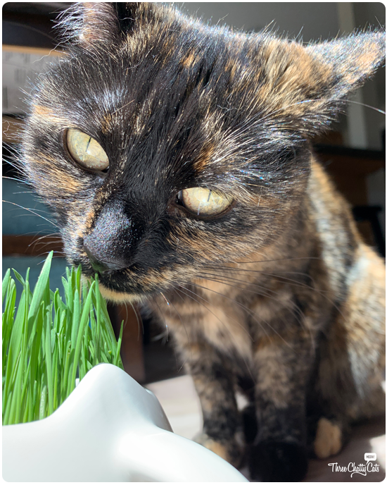 tortie cat sniffing cat grass