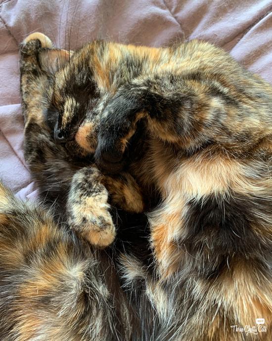 tortie cat tummy