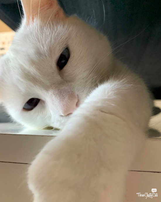 curious white cat