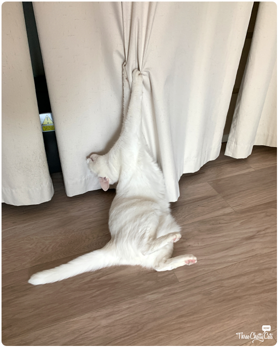 mischievous white cat clawing curtains