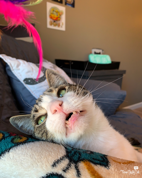 goofy tabby cat