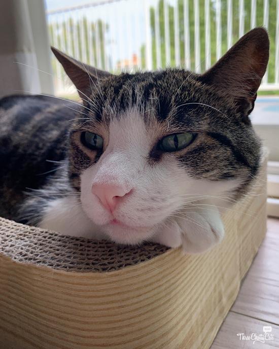 bored looking tabby cat