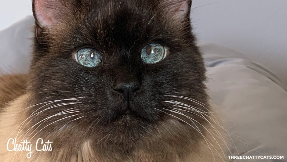 siamese mix cat with blue eyes