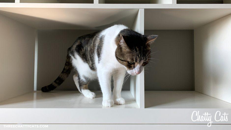 tabby cat in empty shelving unit