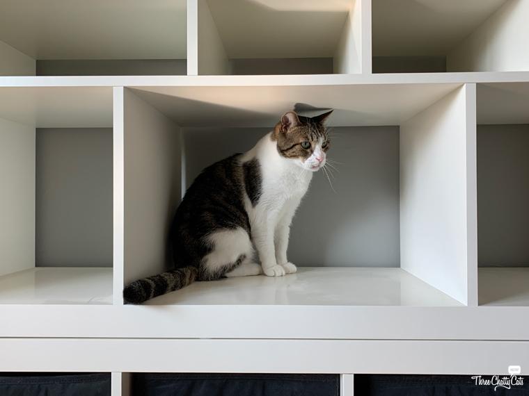 tabby cat in empty shelves