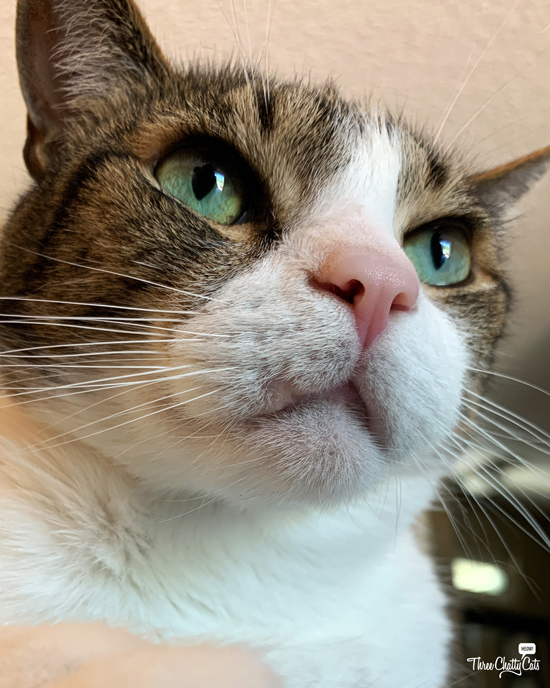 handsome tabby cat with green eyes