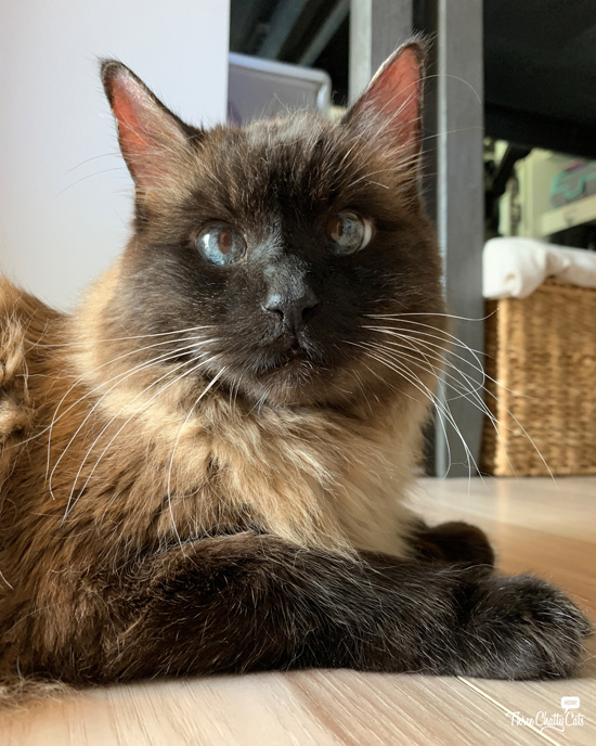 adroable siamese mix cat