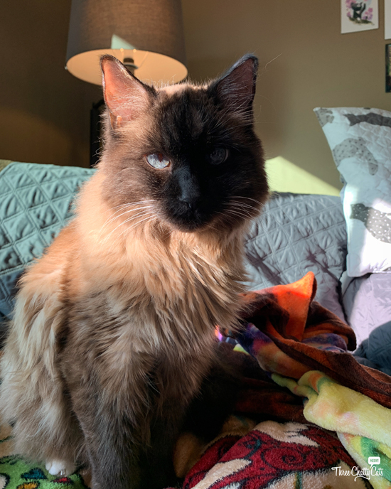 siamese mix cat in the morning sunlight