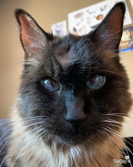 siamese mix cat with hair part