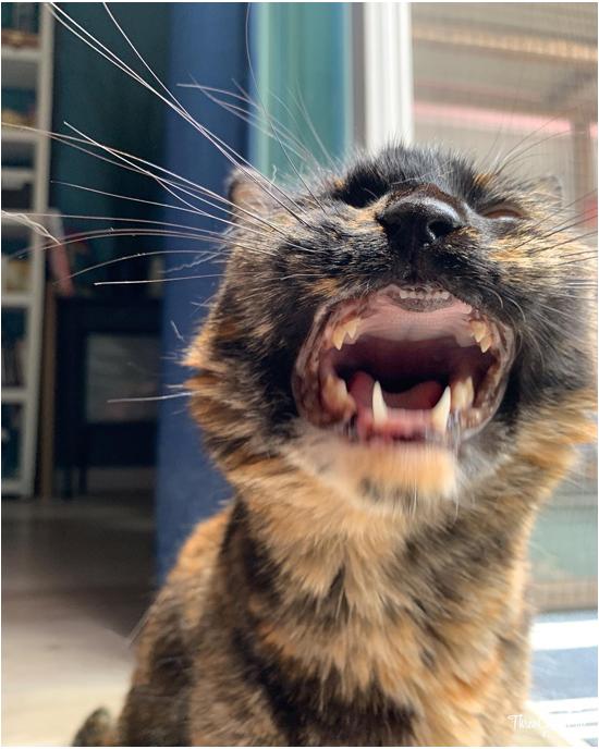 goofy tortie yawning