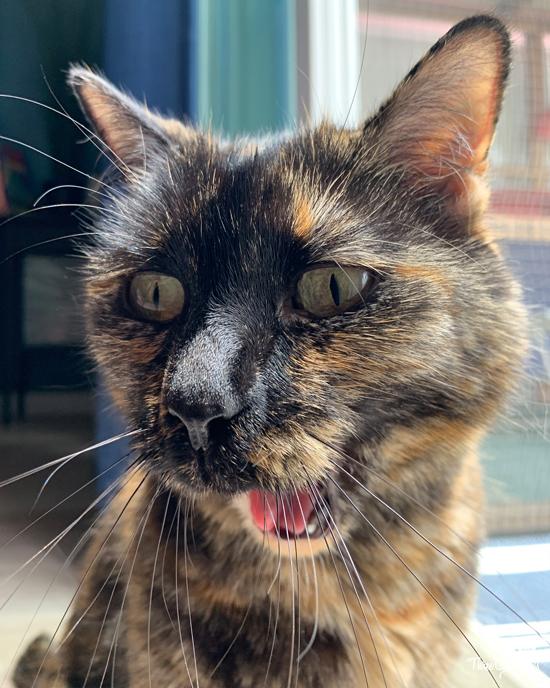 yawning tortie cat