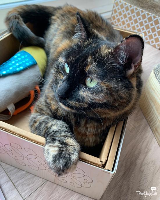 cute tortie cat in box