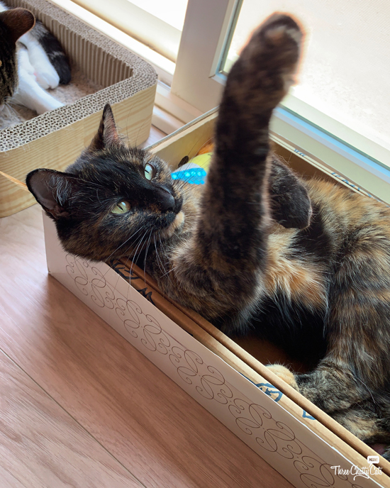 tortie cat in box looking at paw
