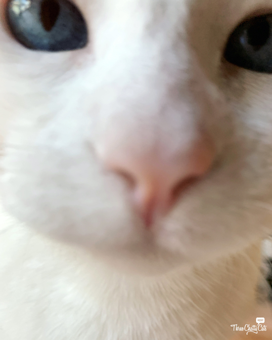 blooper closeup of white cat with blue eyes