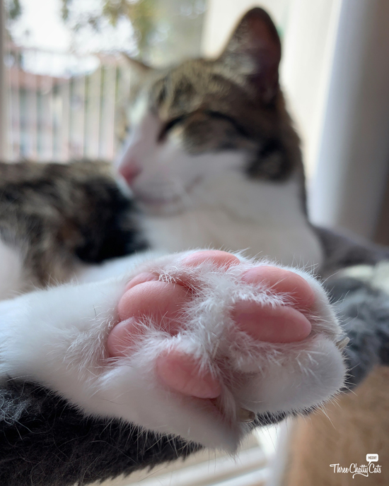 tabby cat's paw and toe beans