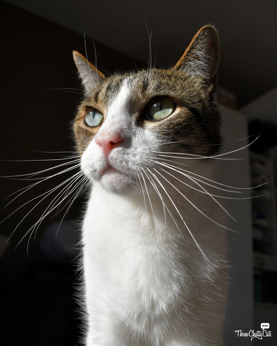 handsome tabby cat with food on nose