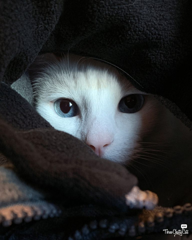 white cat hiding in sweatshirt