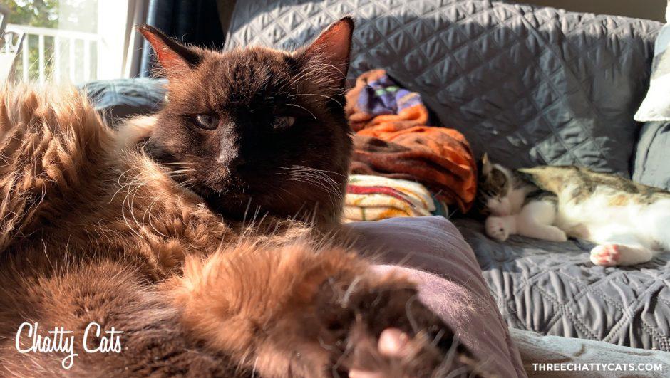 siamese mix cat in the sunligh