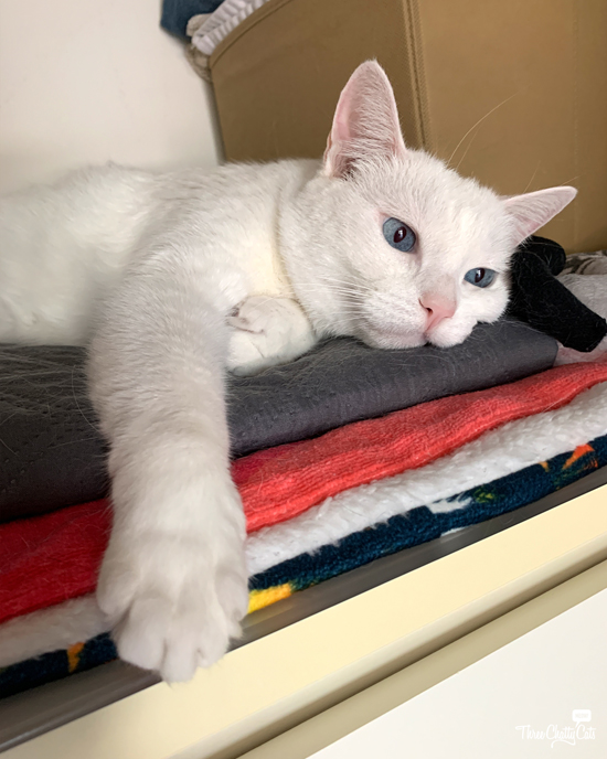 white cat with blue eyes in closet