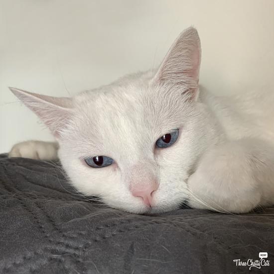 sad white cat with blue eyes
