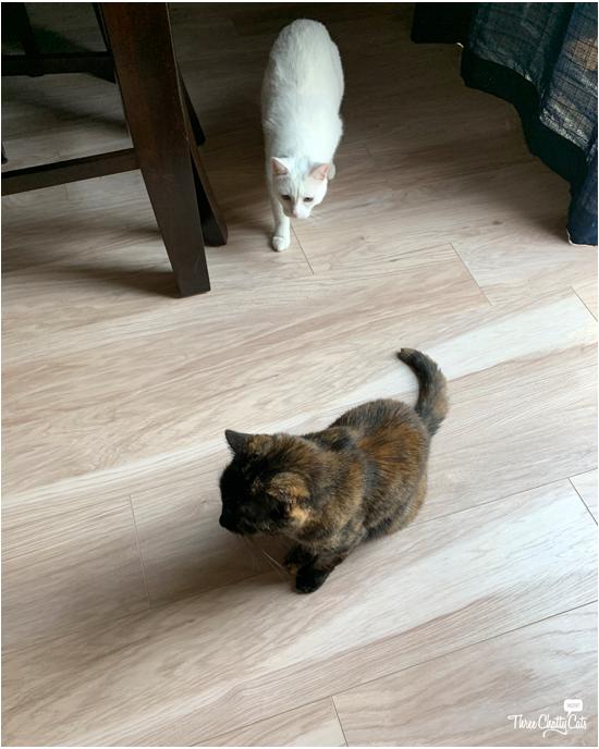 white cat stalking tortie cat