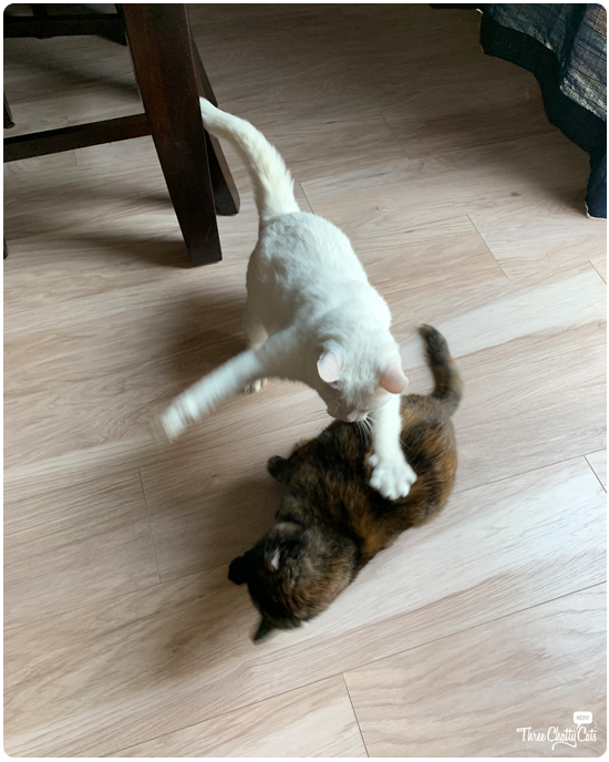 white cat pouncing on tortie cat