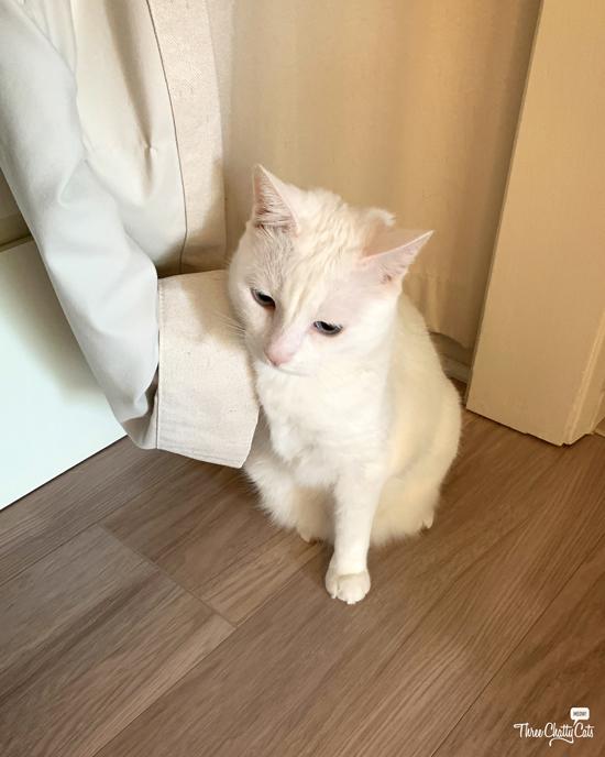 white cat in curtain predicament