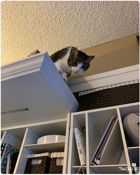 tabby cat looking down from high up