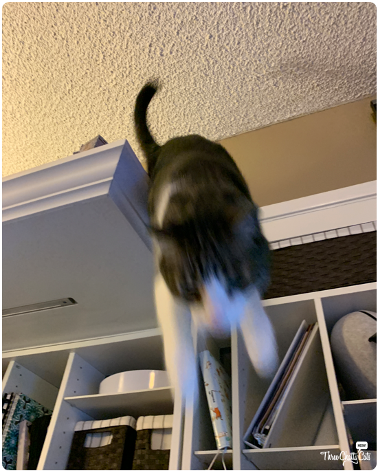 blooper of tabby cat jumping down