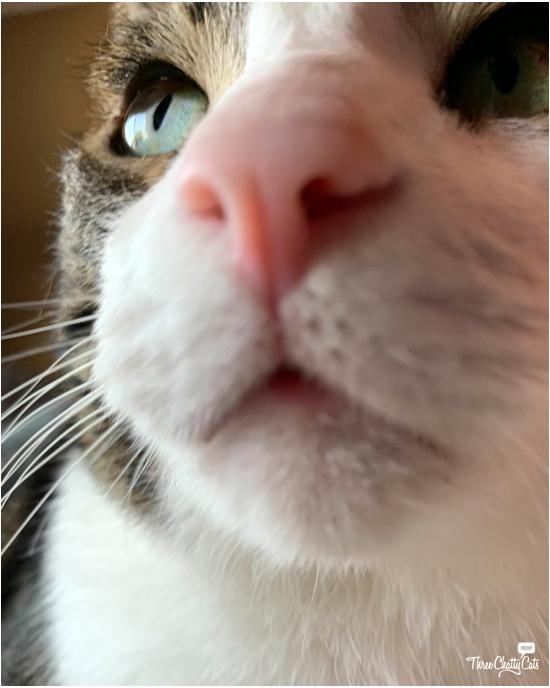 goofy tabby cat selfie
