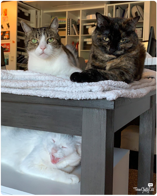 white cat yawning below tortie cat and tabby cat