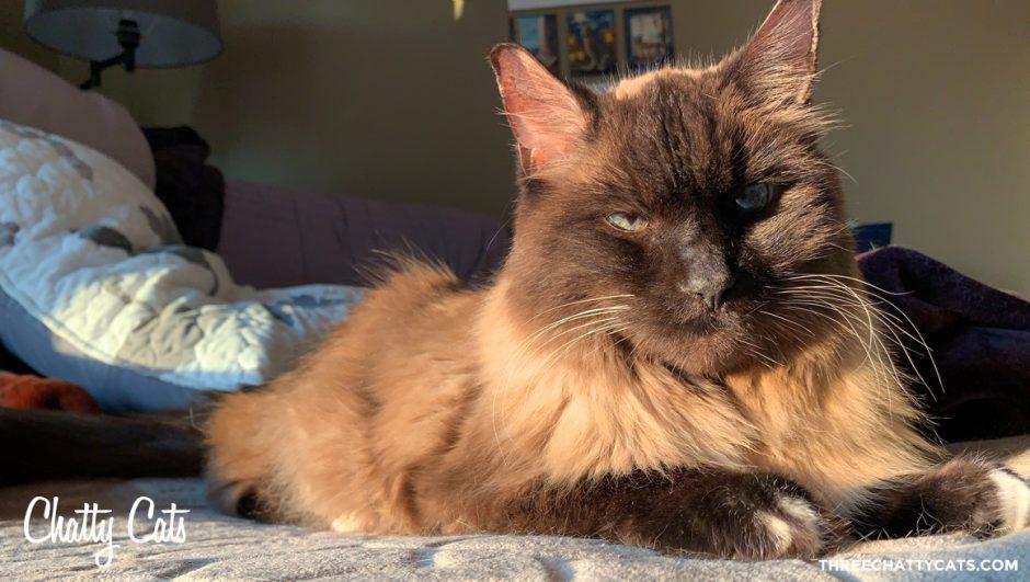 siamese mix cat in morning sunlight