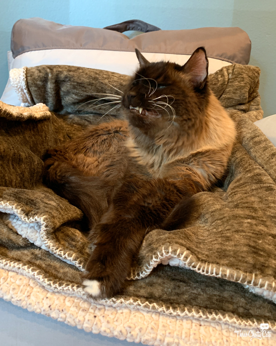 blooper photo of siamese mix cat