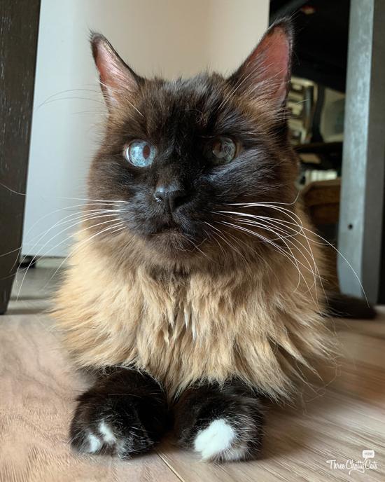 handsome siamese mix cat