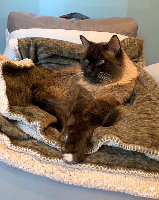 siamese mix cat in chair